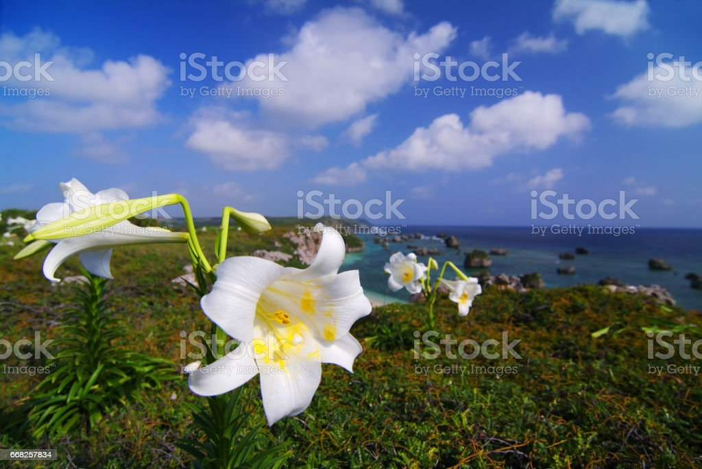 East Peace Lily name Cape foto stock royalty-free