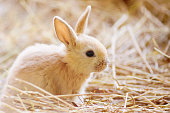 Easter. Adorable tiny little fluffy red rabbit at the farm.