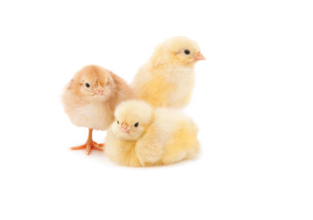 Easter Baby Chicken stock photo