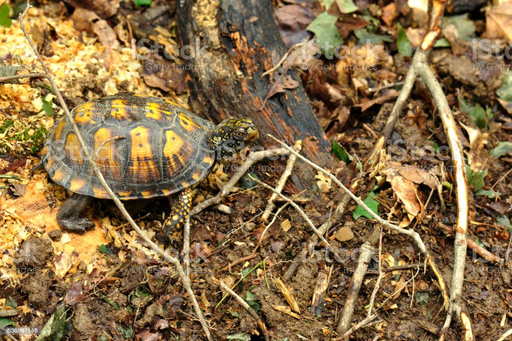 Easter Box Turtle in the woods stock photo