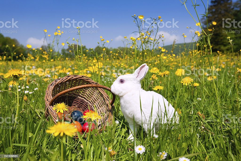 Easter bunny and a basket of eggs sits in a field of flowers stock photo