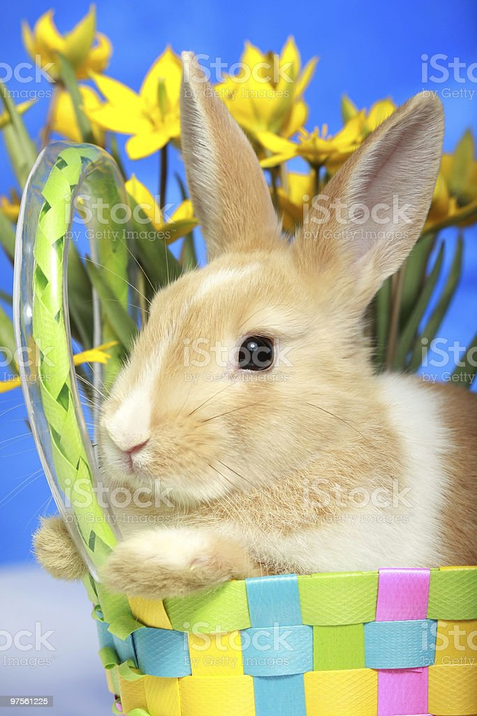 Easter bunny and yellow tulips royalty-free stock photo