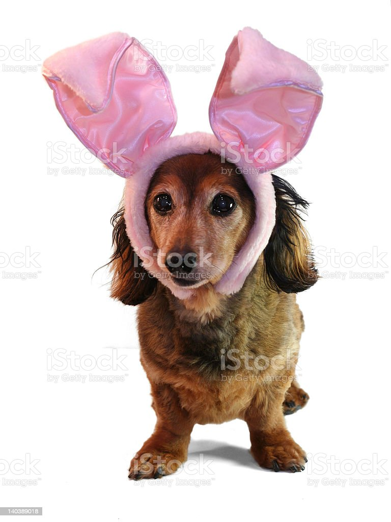 Easter bunny dachshund. stock photo