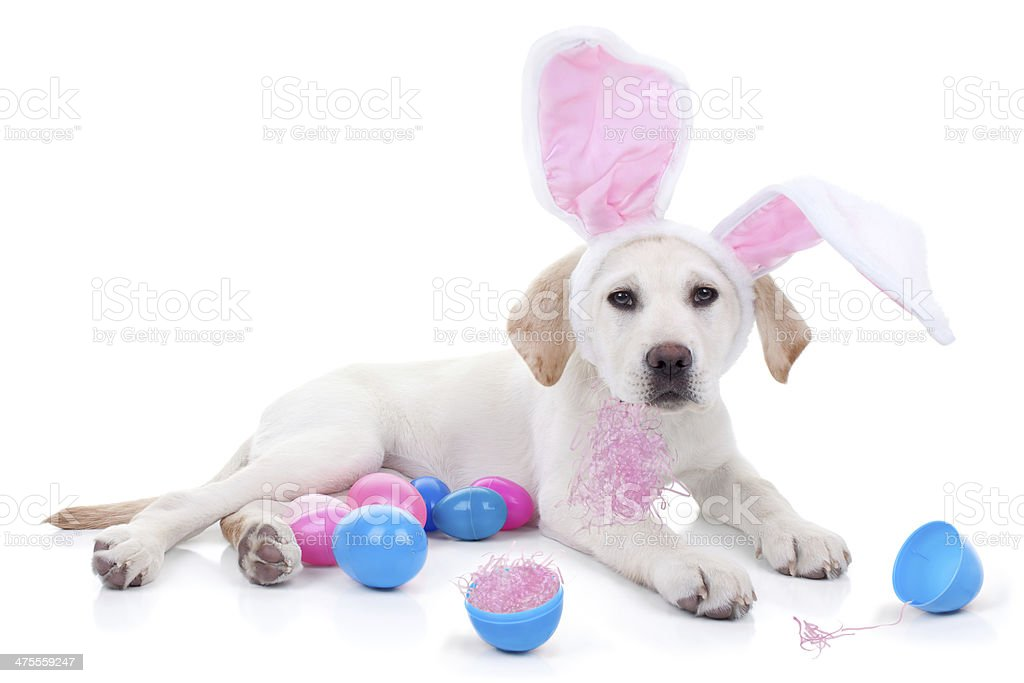 Easter Bunny Dog stock photo