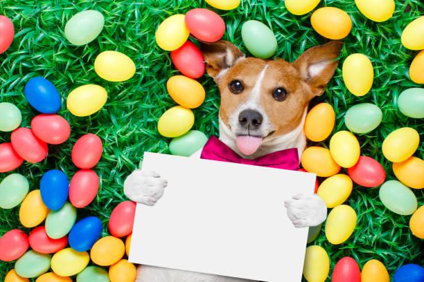 ostern hase hund mit eiern - faschingssprüche stock-fotos und bilder