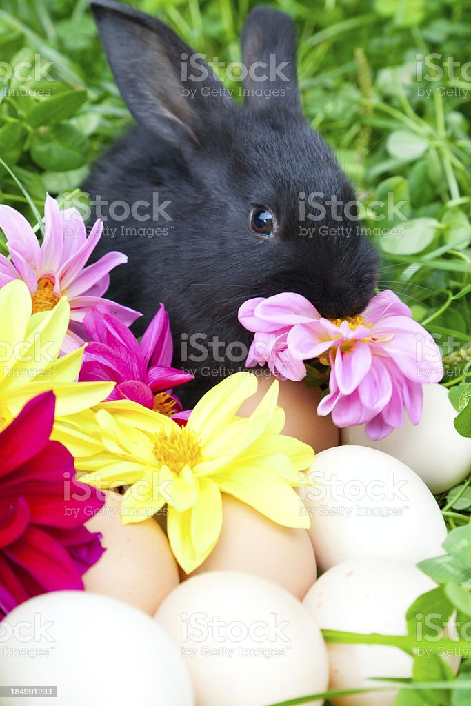 Easter Bunny , Eggs and flowers royalty-free stock photo