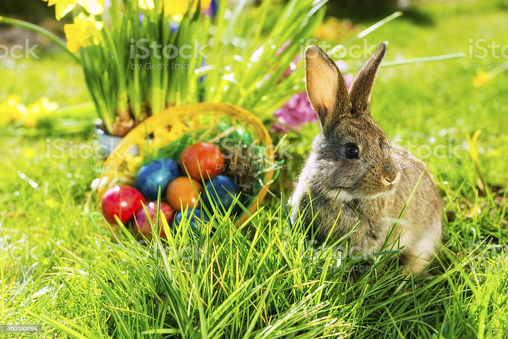 Easter bunny on meadow with basket and eggs stock photo