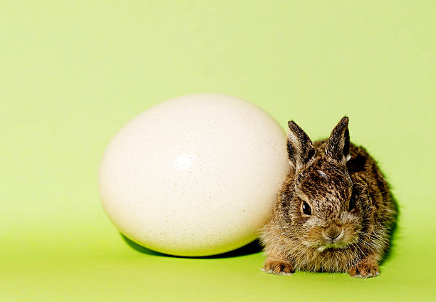 osterhase osterhase mit groAem ei osterhase stock pictures, royalty-free photos & images