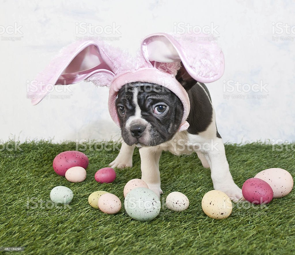 Easter Bunny Puppy stock photo
