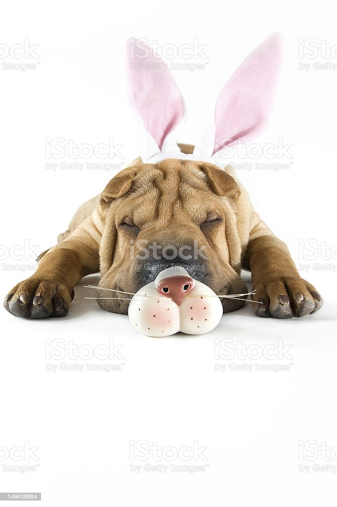 Easter Bunny Puppy Sharpei Dog stock photo