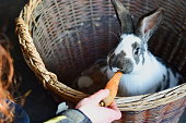 Lovely Easter Bunny, rabbit eating a carrot, farm animals