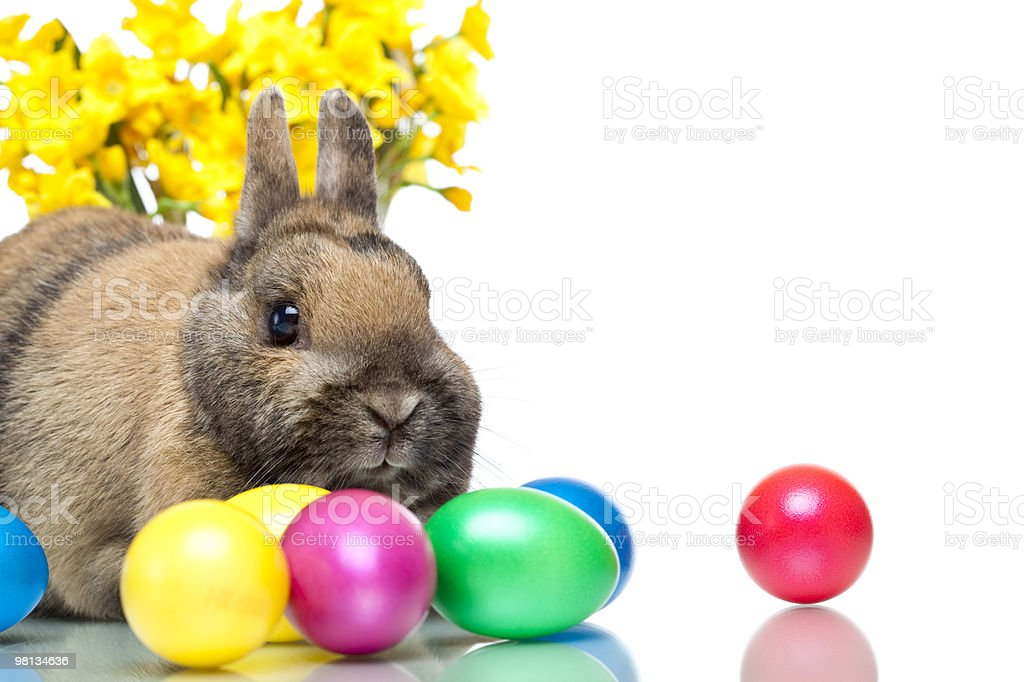 Easter bunny sitting beside colorful eggs and daffodil royalty-free stock photo