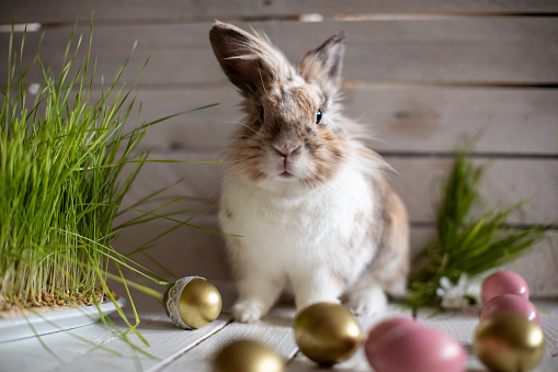 Cute fluffy bunny exploring Easter decoration and posing. He is surrounded by colorful eggs, fresh grass and wooden basket. Standing on white wooden table. Ready to with you Happy Easter!