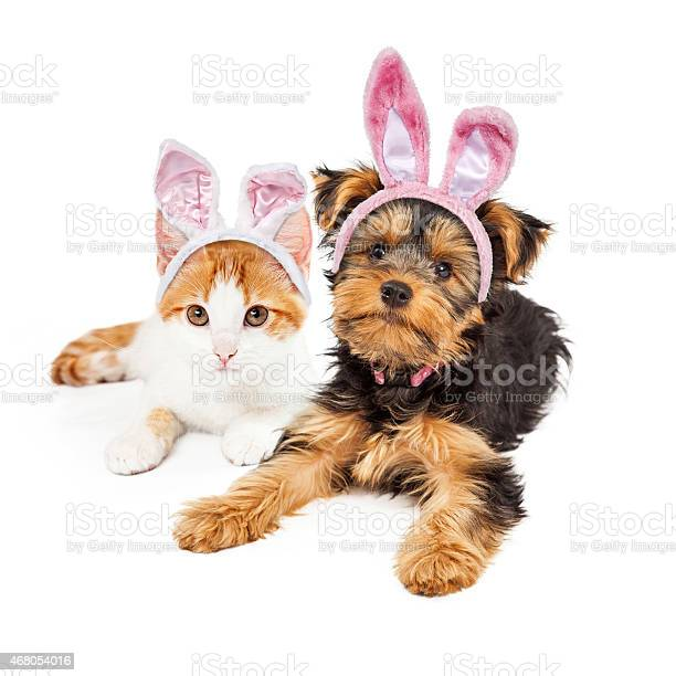 Easter bunny yorkshire puppy and kitten picture id468054016?b=1&k=6&m=468054016&s=612x612&h=woixcp9b5 hiz3br8psj9fimprru4xov8d26psfhzrk=