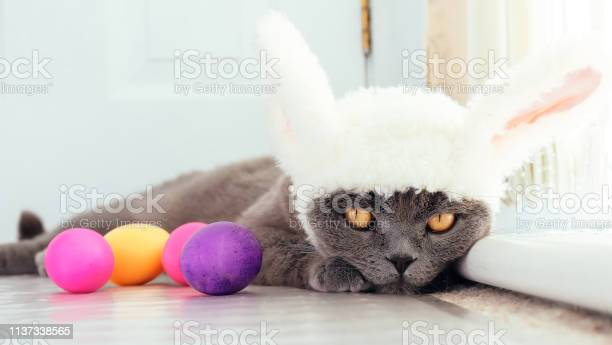 Easter cat picture id1137338565?b=1&k=6&m=1137338565&s=612x612&h=fqux bhrk3nde oy8m0vk2ac jvqzkfmoz1rfxiqpfi=