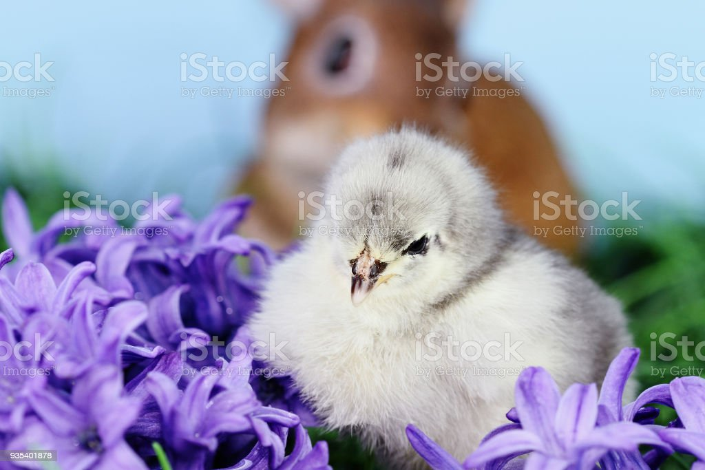 Easter Chick with Bunny stock photo