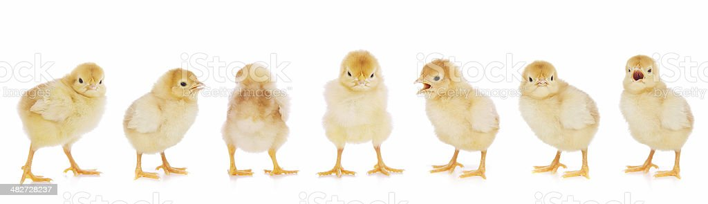 Easter Chickens Standing in a Line stock photo