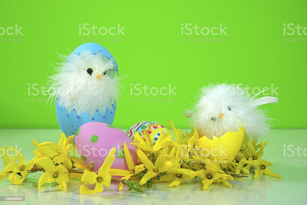 Easter chicks in forsythia royalty-free stock photo