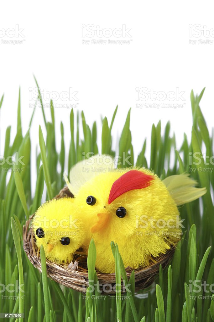 Easter chicks in the grass isolated on white royalty-free stock photo