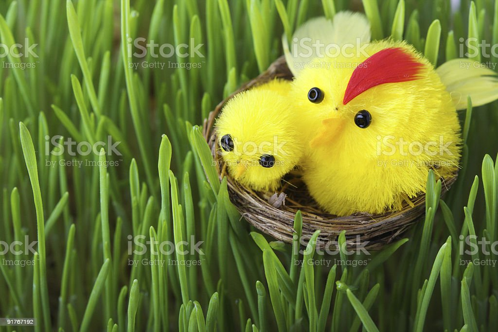 Easter chicks in the grass royalty-free stock photo