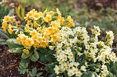 Easter concept. Primrose Primula with yellow flowers in flowerbed in spring time. Inspirational natural floral spring or summer blooming garden or park background