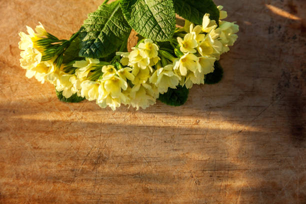 Easter concept. Primrose Primula with yellow flowers on scratched wooden table with morning shadows. Inspirational natural floral spring or summer blooming background. Flat lay top view copy space Easter concept. Primrose Primula with yellow flowers on scratched wooden table with morning shadows. Inspirational natural floral spring or summer blooming background. Flat lay top view copy space primula stock pictures, royalty-free photos & images