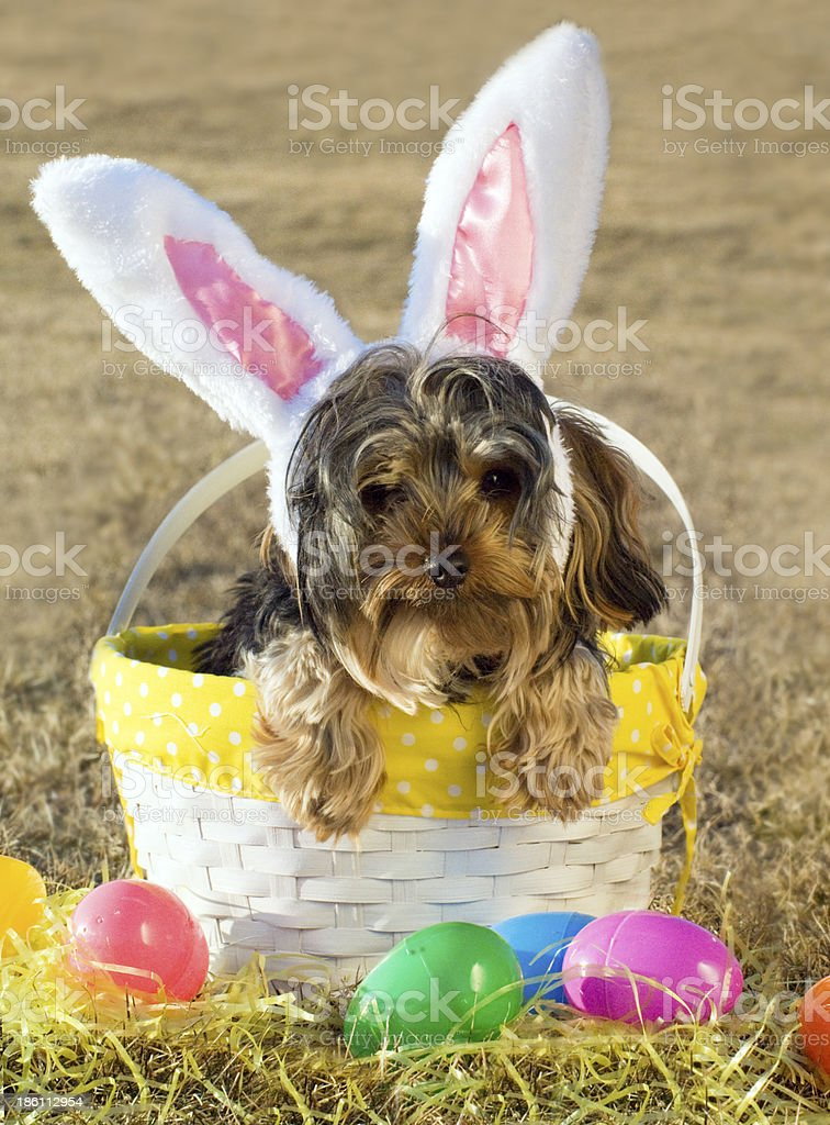 Easter Doggie royalty-free stock photo
