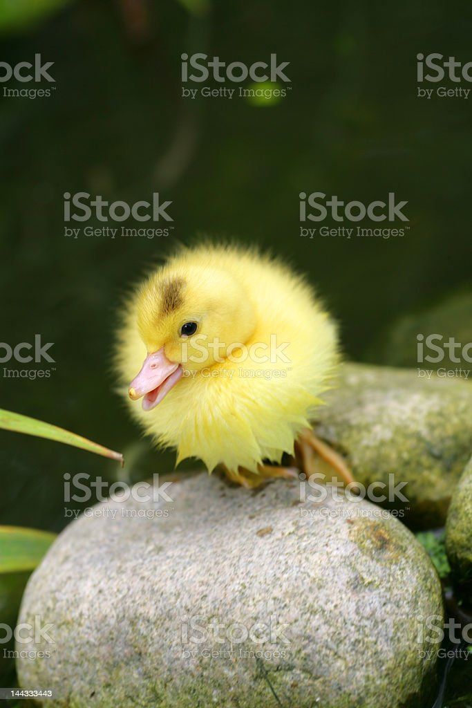 Easter Duckling stock photo