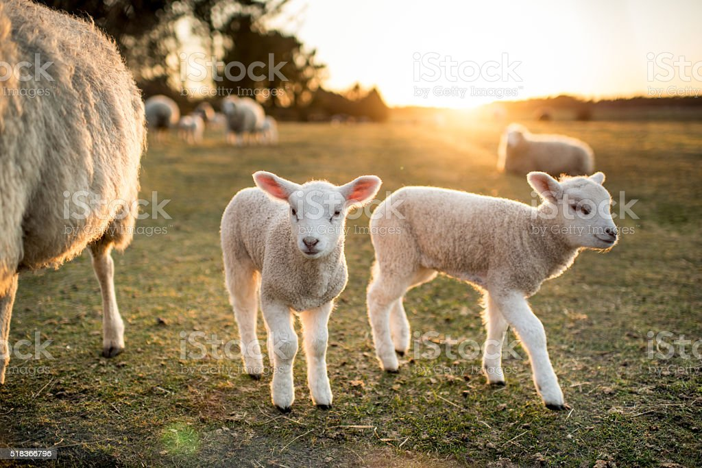 Easter Lambs stock photo