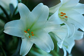 close up outdoor shot of Easter lily blossoms in full-color