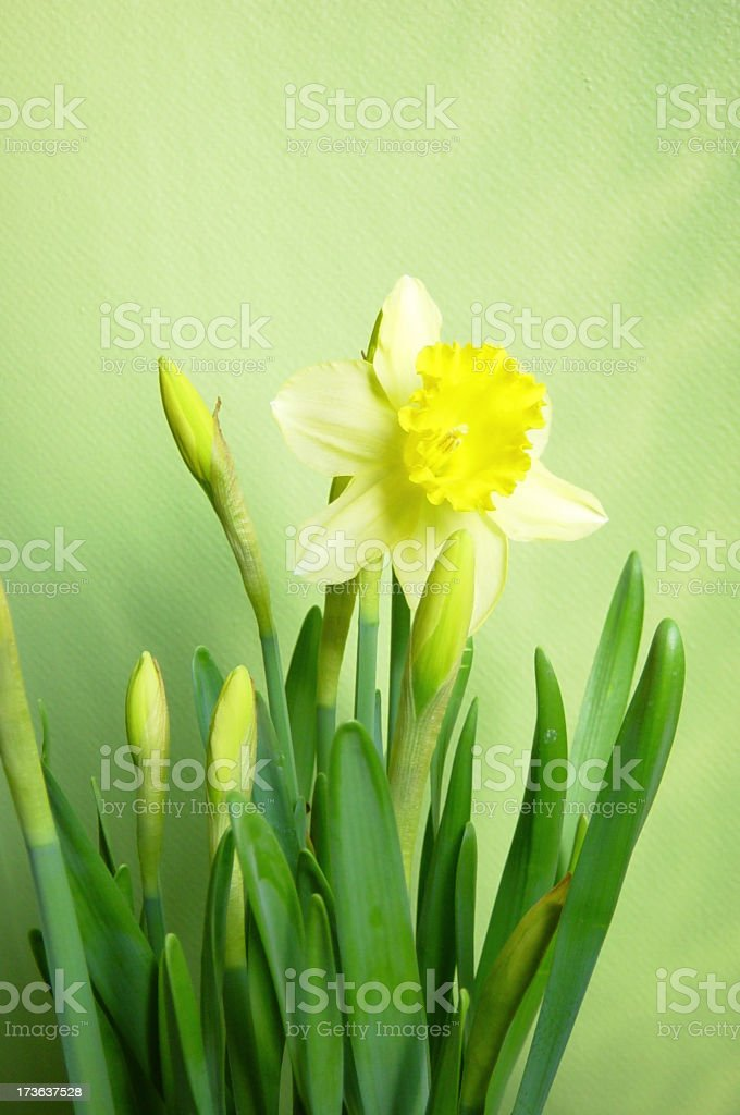 easter lily 2 royalty-free stock photo