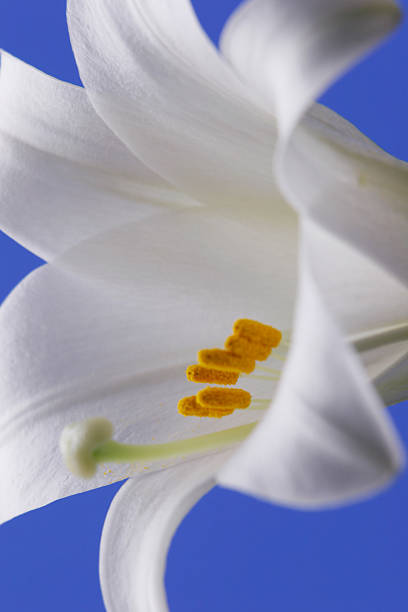 Easter Lily Closeup stock photo