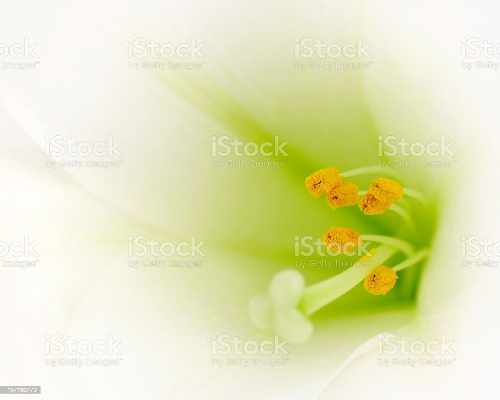 Easter Lily Macro royalty-free stock photo