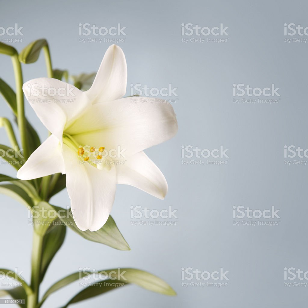 Easter Lily on Blue Background stock photo