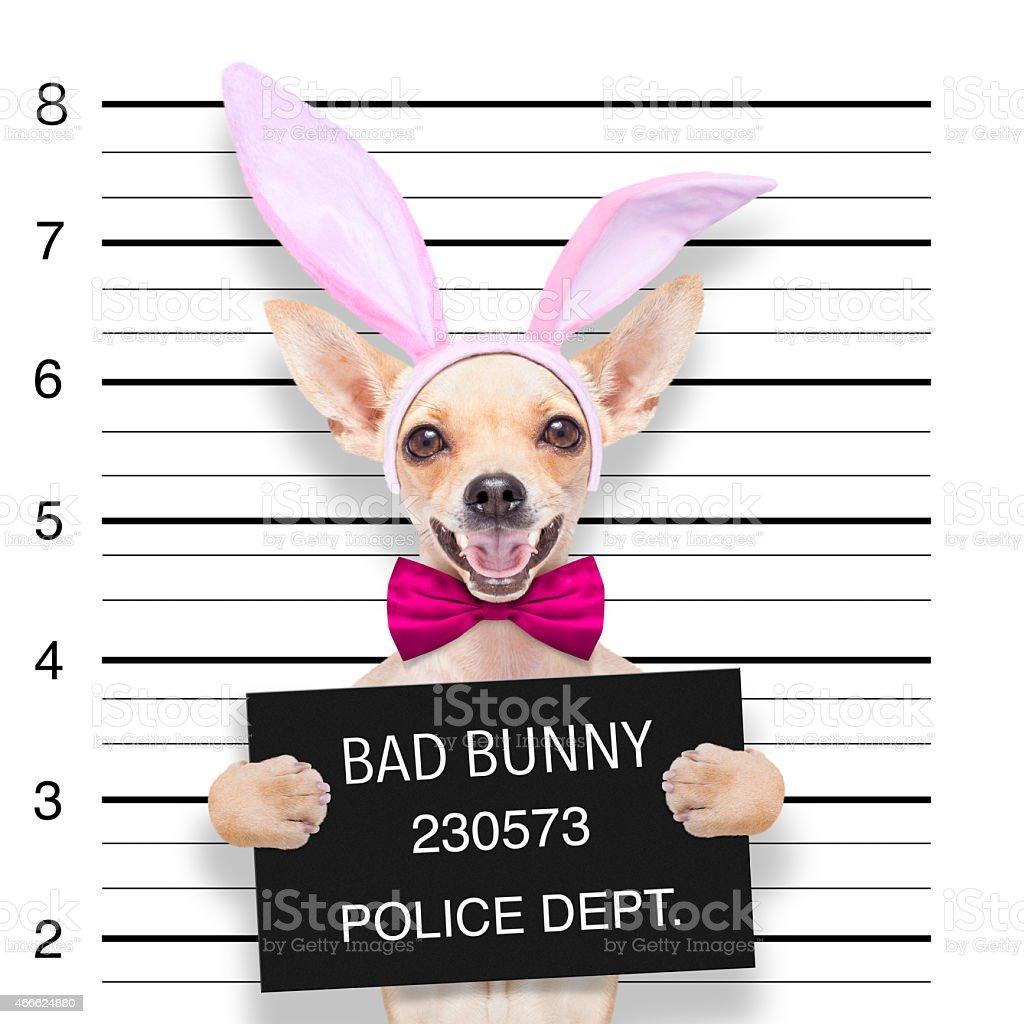 easter mugshot dog stock photo
