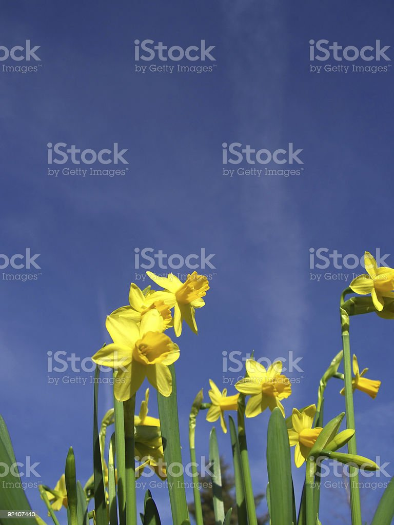 Easter Narcissus royalty-free stock photo