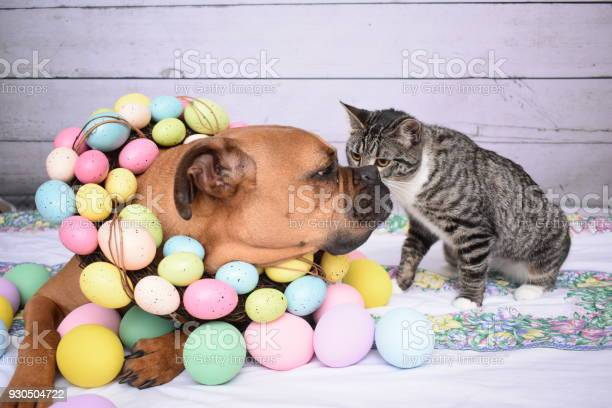 Easter portrait of a boxer breed dog and a tabby cat picture id930504722?b=1&k=6&m=930504722&s=612x612&h=os dhqyybwdpuy6oghd nhladibinxpa8jdrt3jfovq=
