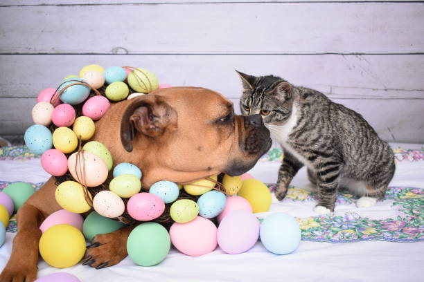 Easter portrait of a boxer breed dog and a tabby cat picture id930504722?b=1&k=6&m=930504722&s=612x612&w=0&h= uppt5uqxrcveut 98ty ipxsv9h5kbolldhxg1hbye=