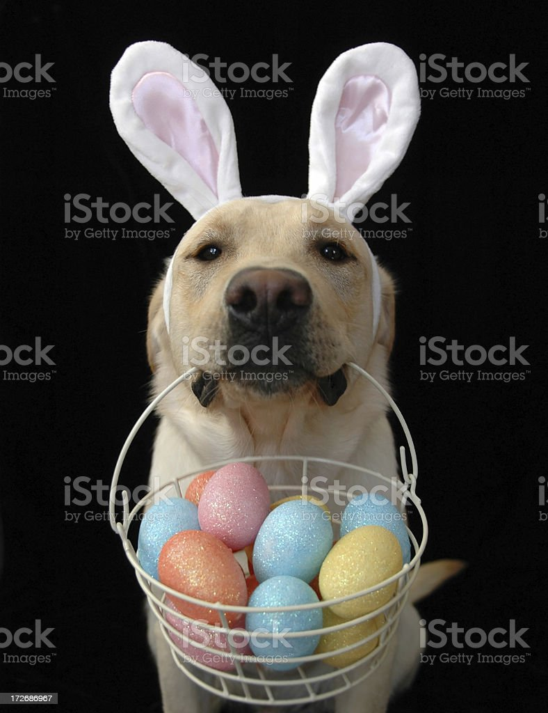 Easter Retriever stock photo