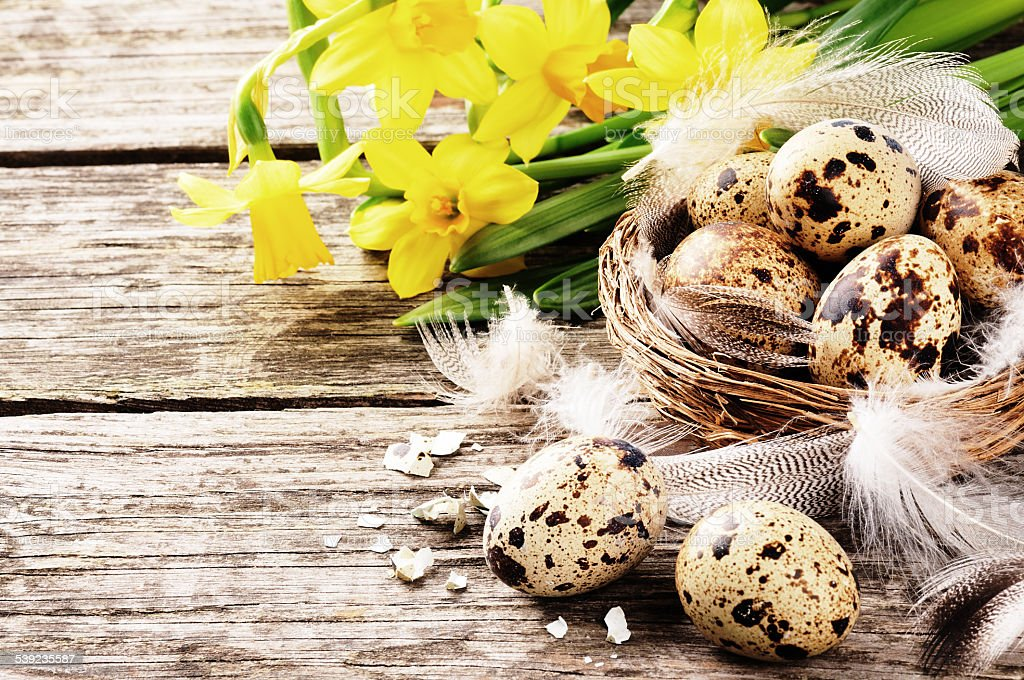 Easter setting with quail eggs and yellow daffodils royalty-free stock photo