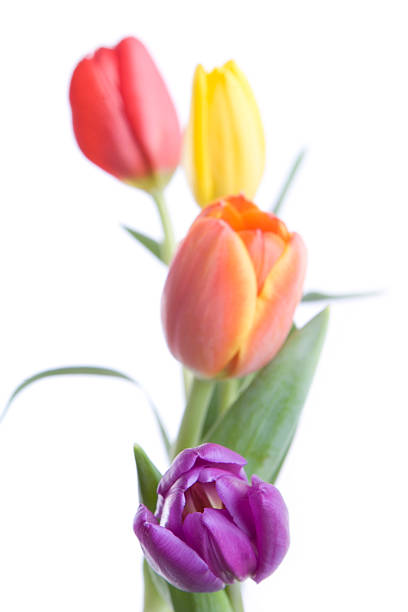easter tulips - spring stock photos and pictures