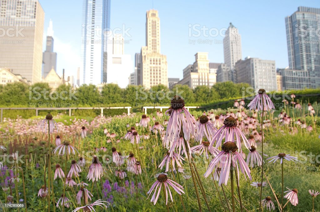 Eastern Bee Balm in Chicago royalty-free stock photo