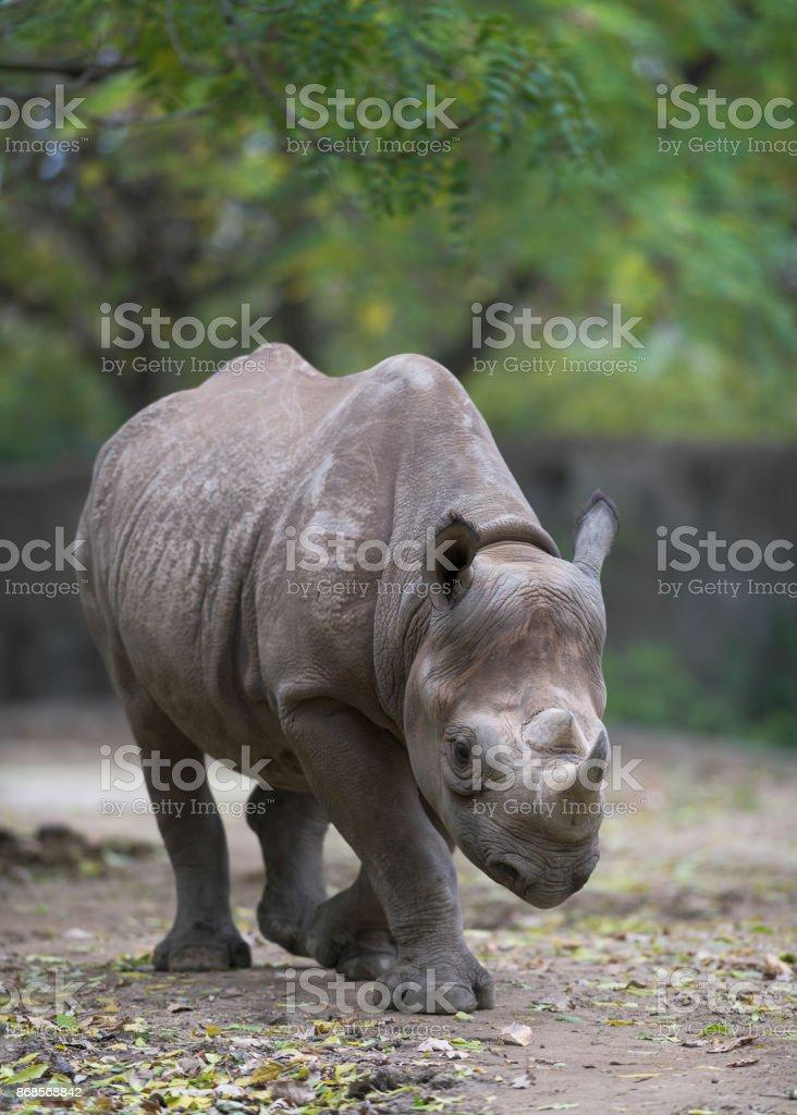 Eastern black rhino stock photo
