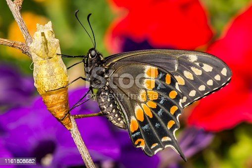 A close up of a newly emerged Black Swallowtail Butterfly in New England.