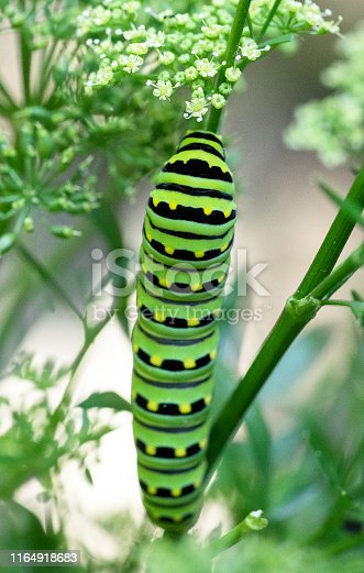 Eastern black swallowtail caterpillar on a parsley plant