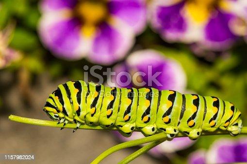 A close up of a 5th instar Black Swallowtail Caterpillar