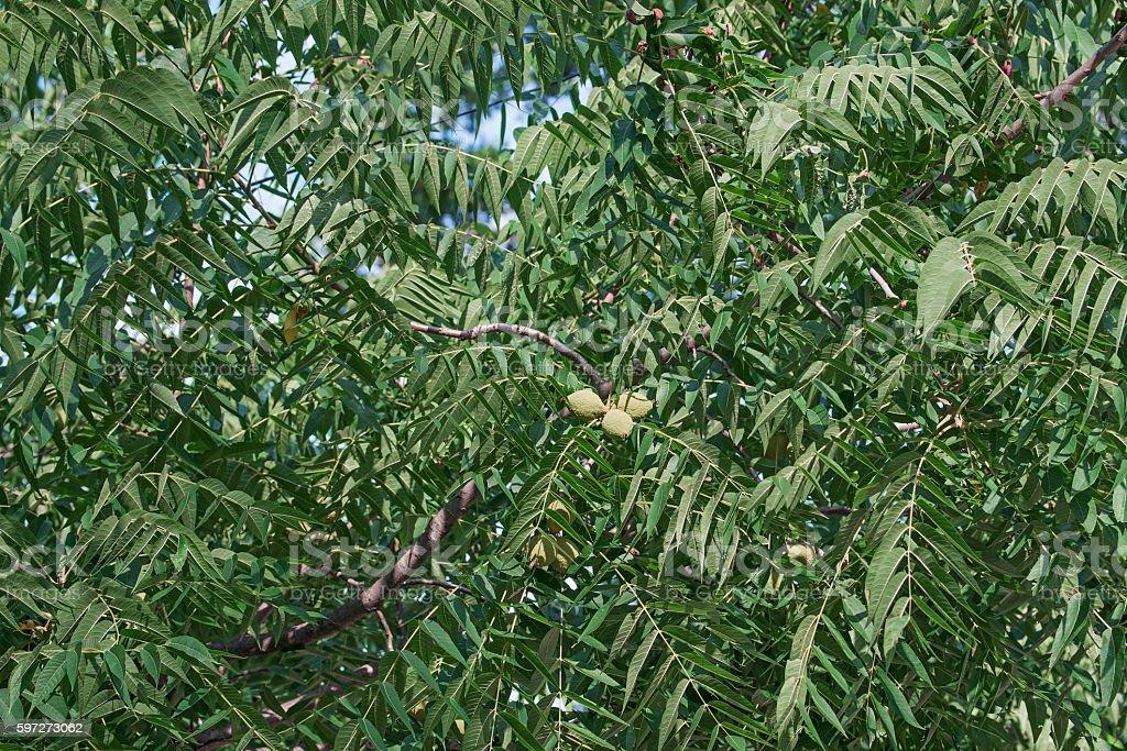 Eastern black walnut fruits Lizenzfreies stock-foto