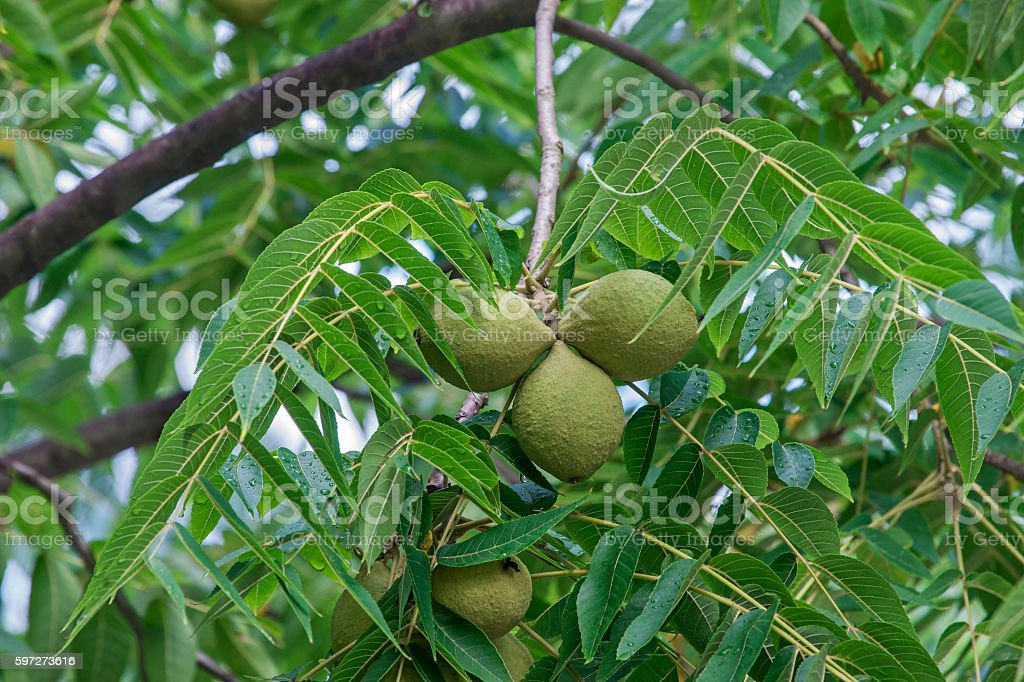 Eastern black walnut fruits photo libre de droits