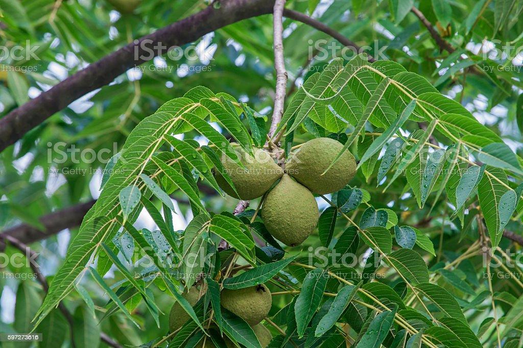 Eastern black walnut fruits stock photo