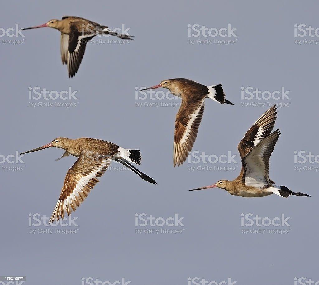 Eastern Black-tailed Godwit stock photo